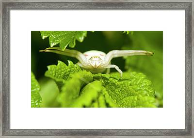 White Flower Spider Framed Print by Jouko Mikkola