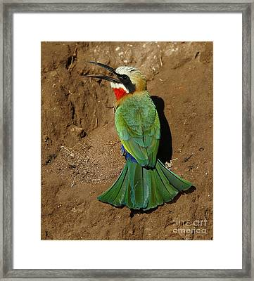 White Fronted Bee-eater Framed Print
