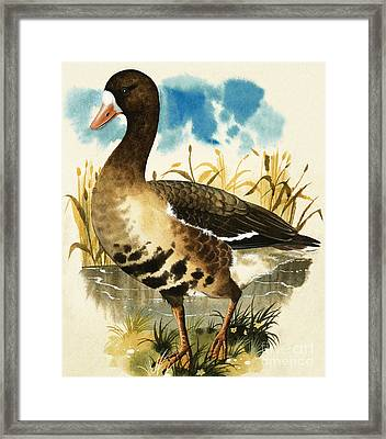 White Fronted Goose Framed Print