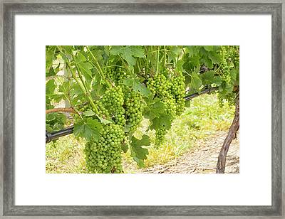 White Grapes Hanging In A Vineyard Framed Print by Patricia Hofmeester