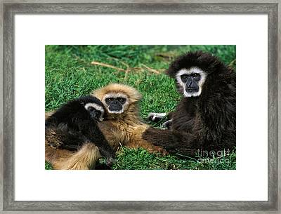 White-handed Gibbon Hylobates Lar Framed Print