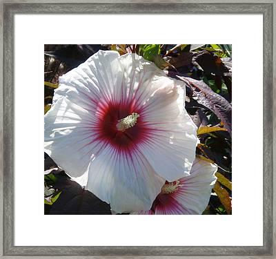 White Hibiscus Framed Print