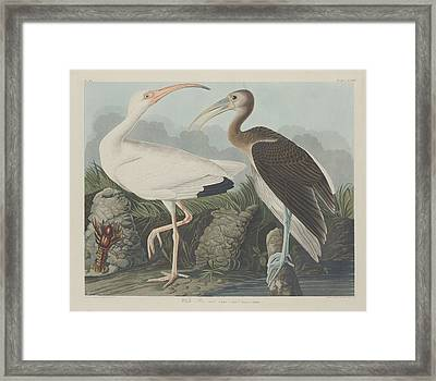 White Ibis Framed Print by Rob Dreyer
