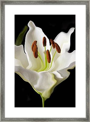 White Lily  Framed Print by Xavier Cardell