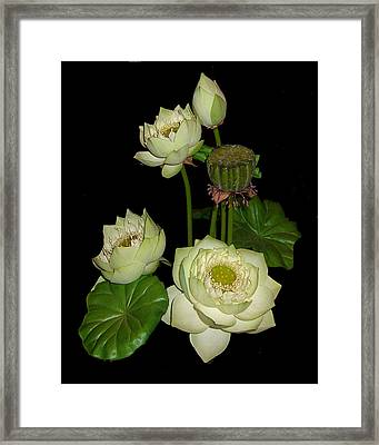 White Lotus Blossoms Framed Print by Merton Allen