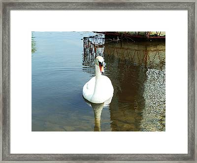 White North American Mute Swan Framed Print by Alex Roussinov
