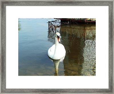 White North American Mute Swan Framed Print by Alex Roussinov
