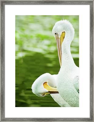 White Pelican Pair Preening Framed Print by Robert Frederick