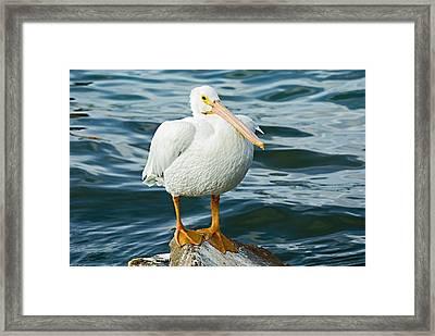 White Pelican Framed Print