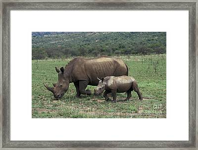 White Rhinoceros Female And Young Framed Print