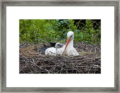 White Stork Ciconia Ciconia Framed Print