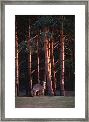 White-tail Deer Framed Print by Raju Alagawadi