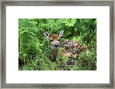 White-tailed Deer Odocoileus Framed Print by Konrad Wothe