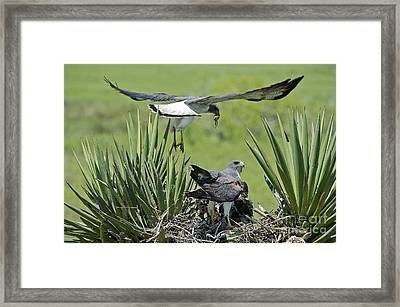 White-tailed Hawk Family Framed Print