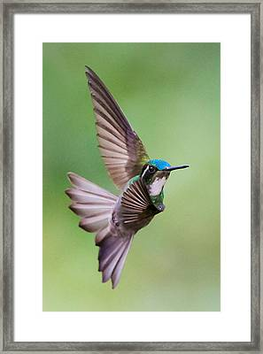 White-throated Mountaingem Lampornis Framed Print by Panoramic Images