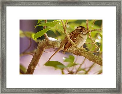 White Throated Sparrow Framed Print by Barry Jones