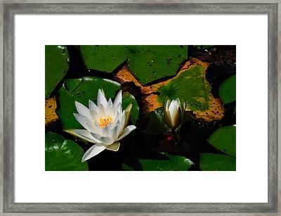 White Water Lilies Framed Print by Louis Dallara