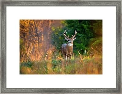 Whitetail At Sunset Framed Print