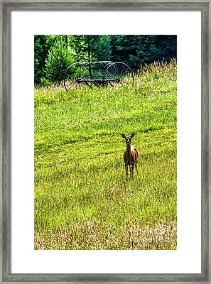 Framed Print featuring the photograph Whitetail Deer And Hay Rake by Thomas R Fletcher