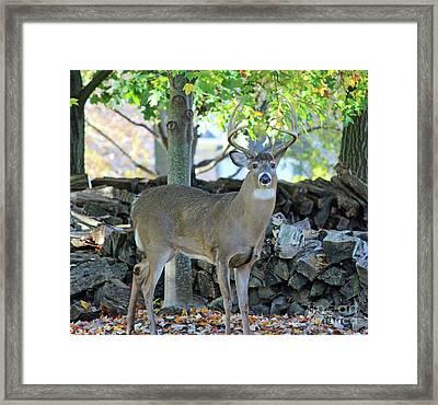 Whitetail Deer Framed Print by Steve Gass