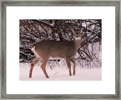 Whitetail Framed Print