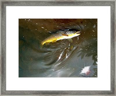 Wild Brown Trout Framed Print by Mike Shepley DA Edin