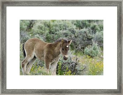 Wild Mustang Foal Framed Print