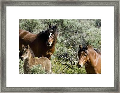 Wild Mustang Herd Framed Print