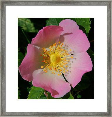 Framed Print featuring the photograph Wild Rose by Marilynne Bull