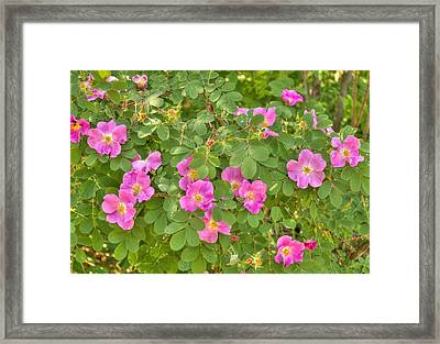 Wild Roses Framed Print by Jim Sauchyn