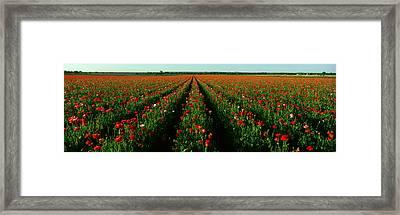 Wildflower Farm, Fredericksburg, Texas Framed Print