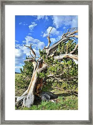 Windy Ridge Bristlecone Framed Print by Ray Mathis