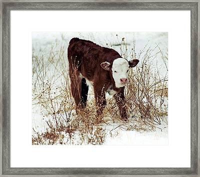 Framed Print featuring the photograph Winter Calf by Juls Adams