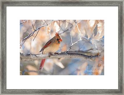 Winter Cardinal Framed Print by Debbie Green