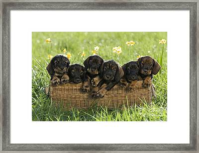 Wire-haired Dachshund Puppies Framed Print by Jean-Louis Klein & Marie-Luce Hubert