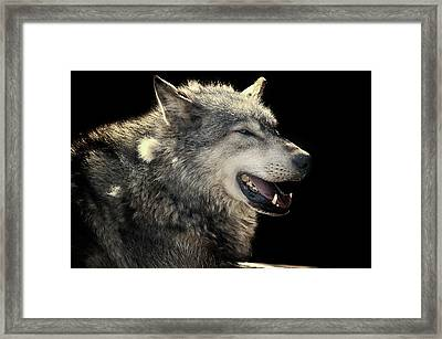 Wolf Rock Framed Print by Martin Newman