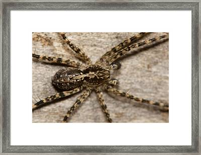 Wolf Spider Framed Print by Jouko Mikkola
