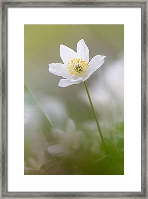 Wood Anemone Framed Print by Ian Hufton