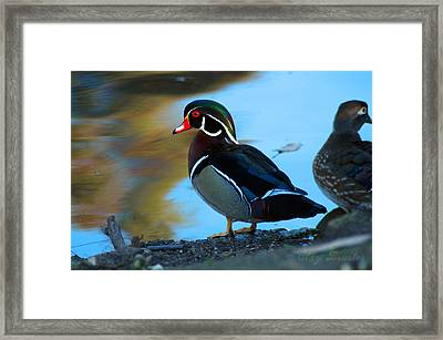 Wood Duck Framed Print by Clayton Bruster