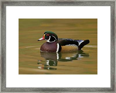 Wood Duck Framed Print by Doug Herr