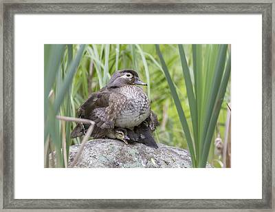 Wood Duck Family Framed Print by Mircea Costina Photography