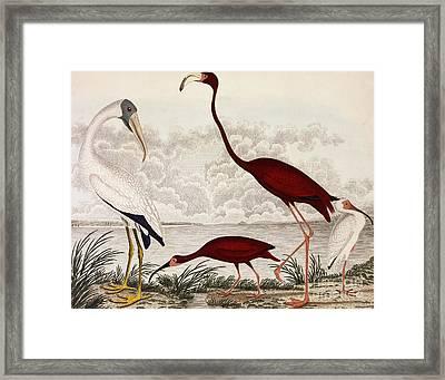 Wood Ibis, Scarlet Flamingo, White Ibis Framed Print