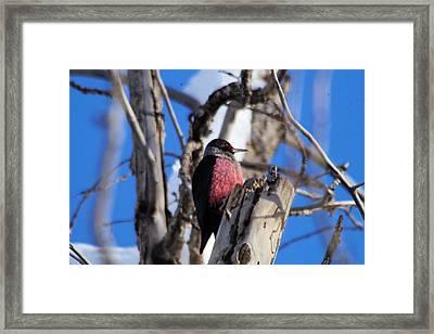 Wood Pecker Framed Print