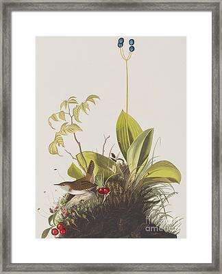 Wood Wren Framed Print by John James Audubon