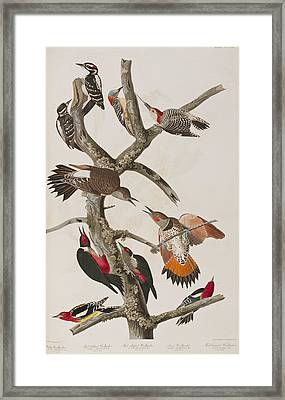 Woodpeckers Framed Print by John James Audubon