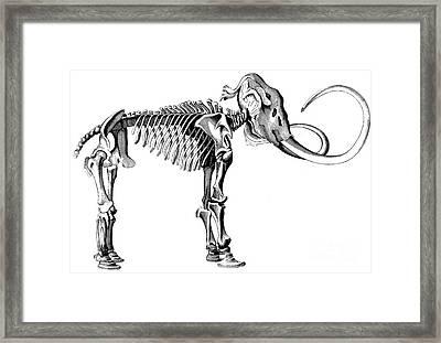 Woolly Mammoth Skeleton Framed Print by English School