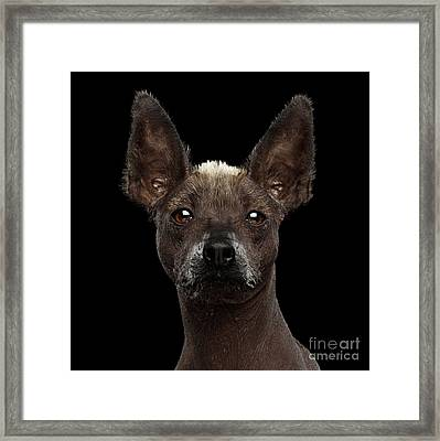 Xoloitzcuintle - Hairless Mexican Dog Breed, Studio Portrait On  Framed Print