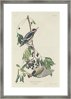 Yellow-bellied Woodpecker Framed Print by John James Audubon