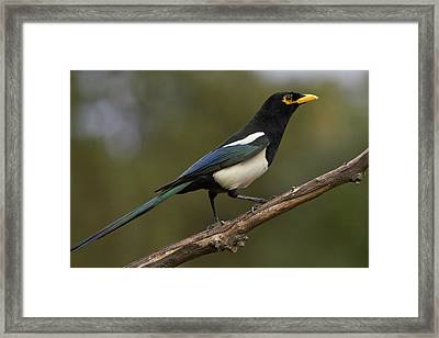 Yellow-billed Magpie Framed Print