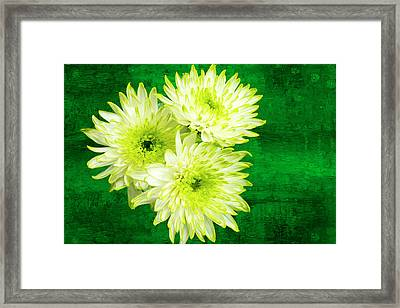 Yellow Chrysanthemums On A Green Background. Framed Print by Paul Cullen